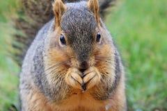 吃灰鼠 免版税库存照片