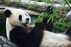吃熊猫 免版税库存照片