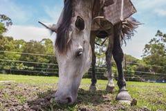 吃牧场地的一匹美丽的加工好的马 免版税库存照片