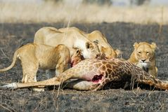 吃牺牲者,塞伦盖蒂国家公园,坦桑尼亚的狮子 免版税库存照片