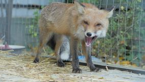 吃狐狸画象 影视素材