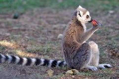 吃狐猴 免版税图库摄影