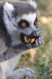 吃狐猴 库存照片