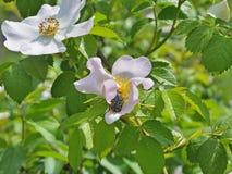 吃狗玫瑰的雄芯花蕊的开花饲养者 库存照片