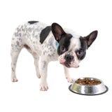 吃狗食的法国牛头犬 图库摄影