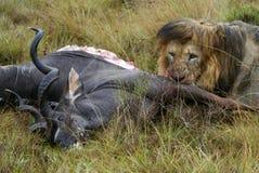 吃狮子 免版税库存图片