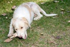 吃猪肉骨头的流浪狗 免版税库存照片