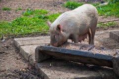 吃猪通过 免版税库存图片