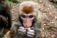 吃猴子花生 免版税库存图片