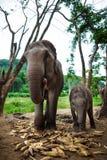 吃玉米的婴孩大象和母亲 免版税图库摄影
