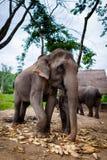 吃玉米的婴孩大象和母亲 免版税库存照片