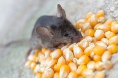 吃玉米的小老鼠 免版税库存图片