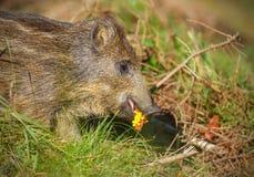吃玉米的幼小野公猪 库存照片