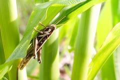 吃玉米的蚂蚱 图库摄影