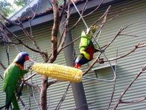 吃玉米的鸟在动物园 库存图片