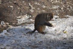吃玉米的猴子 免版税库存照片