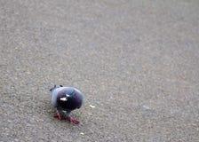 吃玉米花的鸽子 库存图片