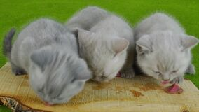 吃生肉的小猫 股票视频