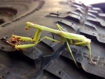 吃甲虫的绿色螳螂坐轮胎 免版税库存照片