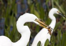 吃白鹭的臭虫 免版税库存图片