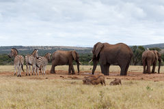 吃的和饮用的定期的非洲人布什大象 免版税库存图片