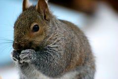 吃的灰鼠 免版税库存照片