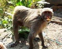 吃的猴子或的猿站立和 库存照片