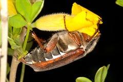 吃的臭虫可以 免版税库存照片