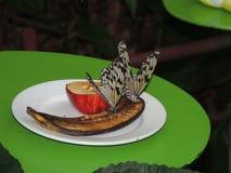 吃的蝴蝶午餐 免版税库存照片