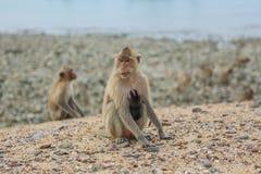 吃短尾猿的螃蟹 库存照片
