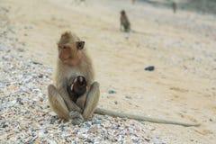 吃短尾猿的螃蟹 免版税图库摄影