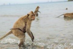 吃短尾猿的螃蟹 免版税库存图片