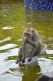吃短尾猿的螃蟹 免版税库存照片