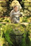 吃短尾猿, Ubud猴子寺庙,巴厘岛,印度尼西亚的螃蟹 免版税库存图片