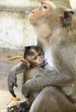 吃短尾猿(猕猴属irus)家庭的螃蟹 免版税库存照片