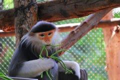 吃短尾猿 图库摄影