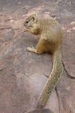 吃石松鼠结构树 免版税库存图片