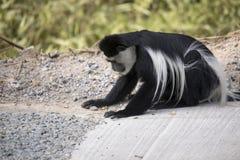 吃石渣的黑白短尾猴 库存图片