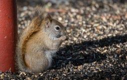 吃种子在早期的春天太阳的早餐的小的红松鼠 库存照片