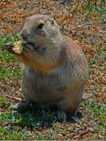吃种子的草原土拨鼠在西奥多・罗斯福国家公园在北达科他荒地 免版税库存照片