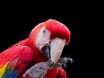 吃种子的金刚鹦鹉 库存照片