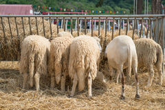 吃秸杆的五只绵羊在农场 库存图片