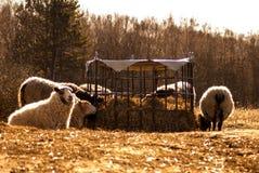 吃秸杆的几只绵羊 免版税库存图片