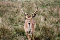 吃秸杆的鹿 免版税库存照片