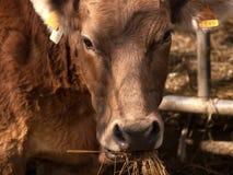 吃秸杆顶头细节2的比利牛斯山脉的母牛 免版税库存照片