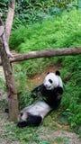 吃竹子的一个大熊猫 免版税库存图片