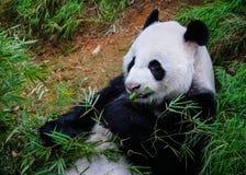 吃竹子的一个大熊猫 免版税库存照片