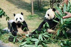 吃竹子的两只熊猫 免版税库存照片