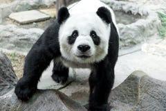 吃竹子的可爱的熊猫 免版税库存照片