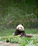 吃竹子的大熊猫 免版税库存图片
